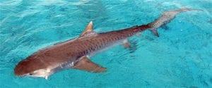 squalo-tigre-australiano